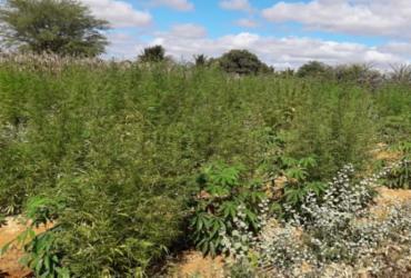 Plantio de maconha avaliado em R$ 150 mil é encontrado na Bahia | Divulgação | SSP