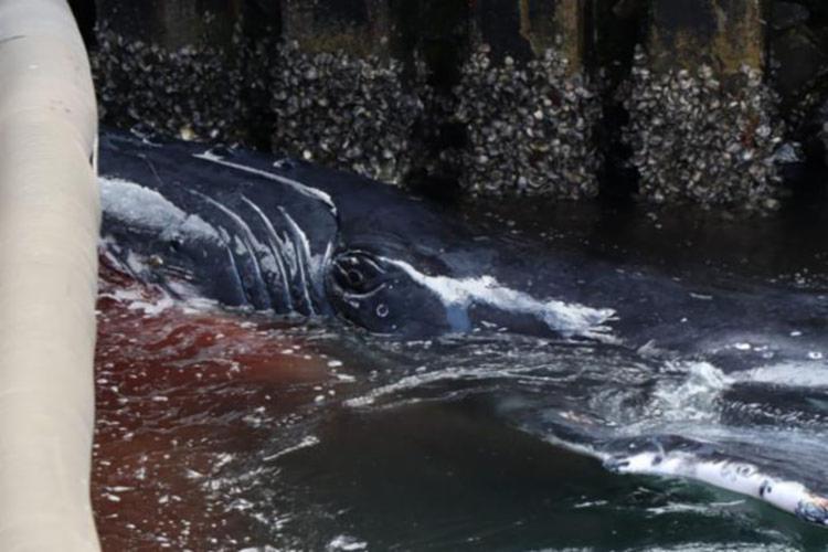 Baleia morta na ilha é a mesma que encalhou no terminal do ferry - Foto: Washington Silva   DCS   PMBA