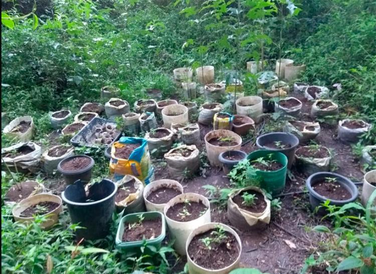 Policiais encontraram 43 pés da erva, 166 mudas, meio quilo de sementes no local - Foto: Divulgação | SSP-BA