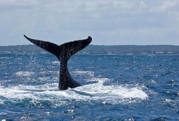 Baleias começam a chegar ao litoral baiano | Foto: Enrico Marcovaldi | Divulgação | Projeto Baleia Jubarte