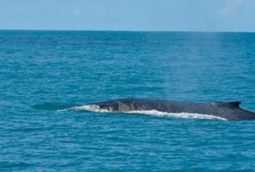 Bahia lidera encalhe de baleias jubarte no País, aponta projeto | Divulgação | Projeto Baleia Jubarte