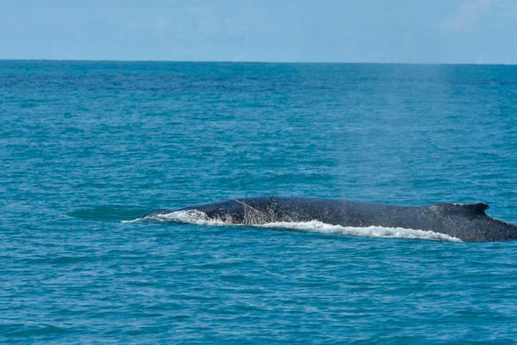 Cerca de 20 mil baleias jubarte devem passar pelo litoral baiano este ano - Foto: Divulgação | Projeto Baleia Jubarte