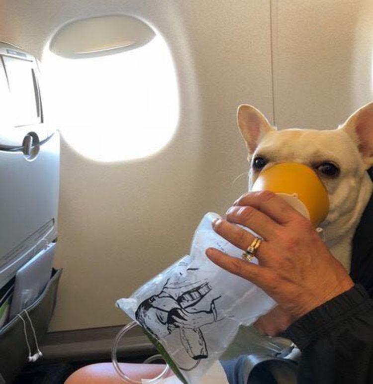 A bulldog Darcy estava com insuficiência respiratória e recebeu oxigênio - Foto: Reprodução   Facebook