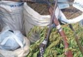 Plantação de maconha é localizada na zona rural de Camamu | Foto: Reprodução | Acorda Cidade