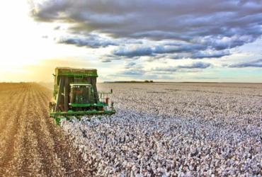 Bahia deverá colher 1,2 milhão de toneladas de algodão nesta safra