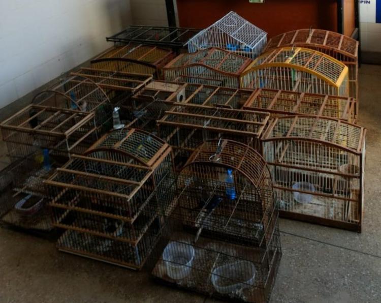 Cerca de 22 pássaros silvestres foram apreendidos com os suspeitos