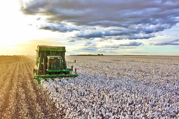 A Bahia deverá colher na atual safra mais de 1,2 milhão de toneladas de algodão (caroço e pluma), 300 mil a mais que na última colheita - Foto: Divulgação