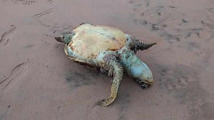 Animal foi encontrado por um morador na praia da Pituna - Foto: Gilson Pereira   Cidadão Repórter   Via WhatsApp