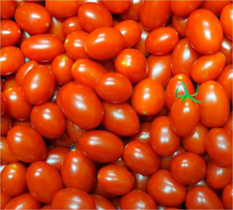 A Empresa Brasileira de Pesquisa Agropecuária desenvolve tomate rico em licopeno - Foto: Leandro Santos Lobo | Embrapa