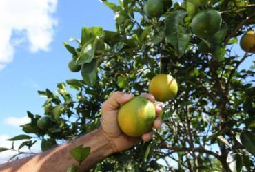 Rio Real tem metade da população envolvida na produção de laranja