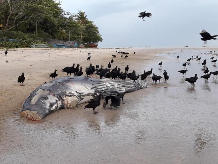 Baleia já estava em estado de decomposição quando foi localizada por moradores - Foto: Paulo Mattos Filho | Cumuruxatiba Viva Vida