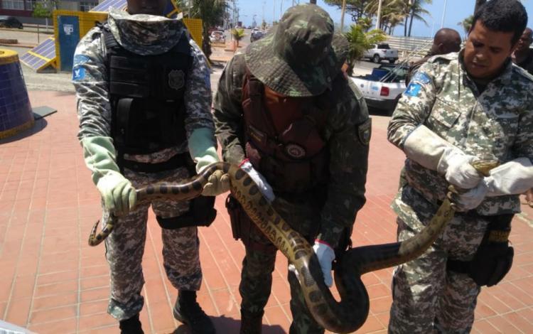Sucuri foi resgatada e encaminhada Núcleo Regional de Ofiologia e Animais Peçonhentos - Foto: Divulgação | Guarda Municipal