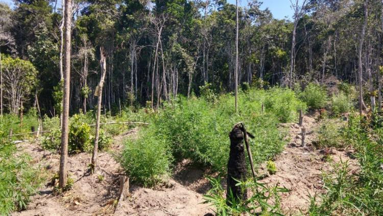 A erva era cultivada entre árvores de eucalipto - Foto: Divulgação   SSP-BA