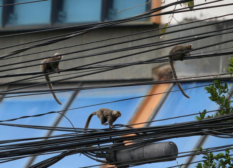 Acuado em meio ao espaço urbano, grupo de macacos sagui aproveita o clima de tranquilidade de uma manhã de domingo em Salvador para dar um passeio entre os postes do bairro do Caminho das Árvores
