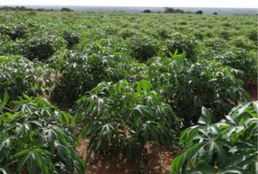 Cruz das Almas sedia curso nacional de produção de mandioca