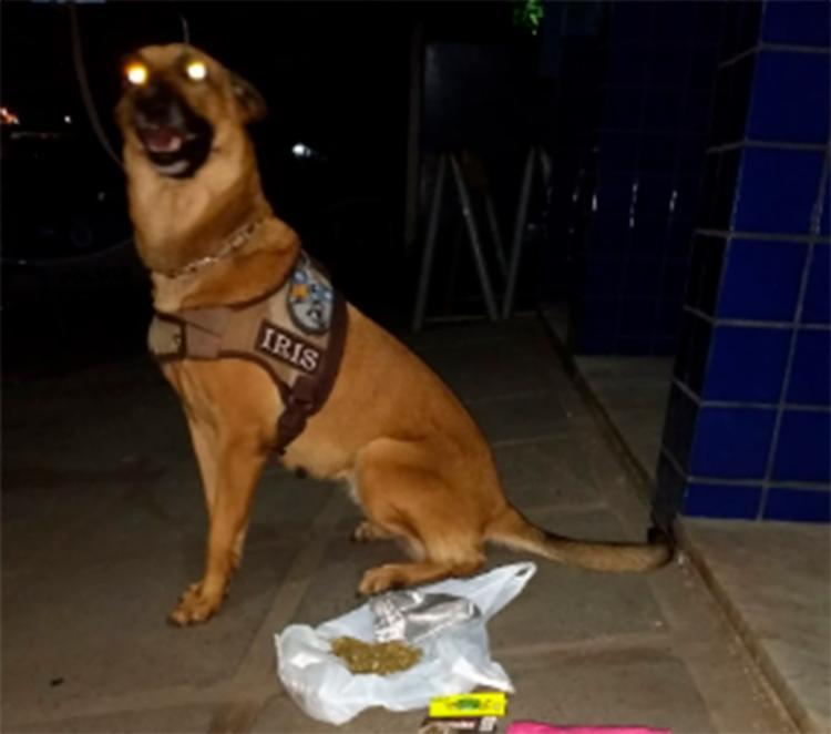 A cadela Íris, da raça Pastor Belga Malinois, auxiliou os policiais a encontrarem as drogas - Foto: Divulgação | SSP-BA