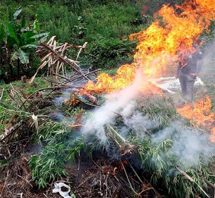 Mais de 10 mil pés da droga foram incinerados após a localização da plantação - Foto: Divulgação | SSP-BA