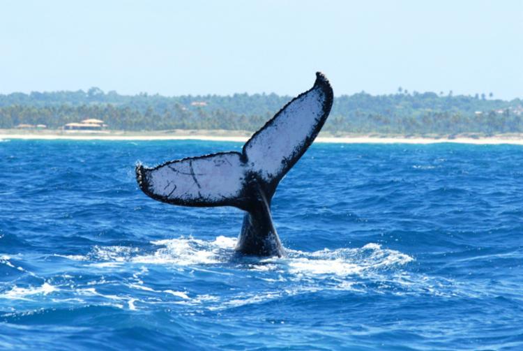 Temporada de baleias jubarte chega ao fim neste período - Foto: Divulgação