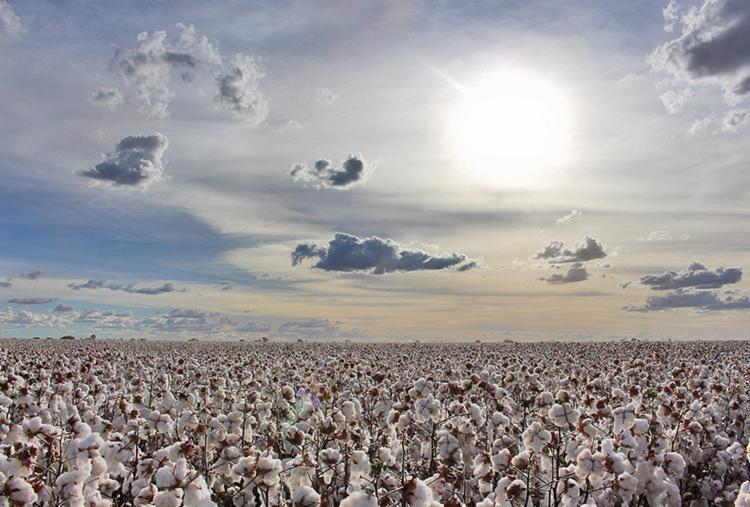 Bahia colhe 1,270 milhão de toneladas de algodão nesta safra