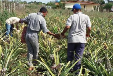 Castro Alves colhe os primeiros abacaxis da Unidade de Observação
