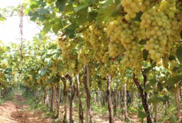 Economia no semiárido é aquecida com empreendimentos de energia solar e produção de uva