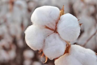 Produtores iniciam nova safra de algodão no Oeste da Bahia