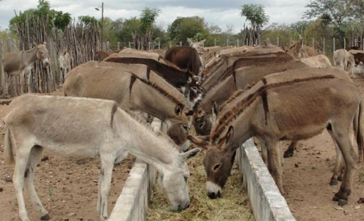 Projeto de lei visa evitar a extinção do jegue, animal-símbolo da região Nordeste - Foto: Divulgação