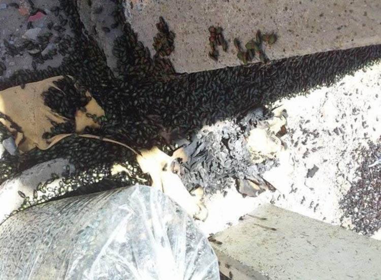 Infestação incomoda moradores devido ao mau cheiro e às queimaduras causadas pelos insetos - Foto: Reprodução | Facebook
