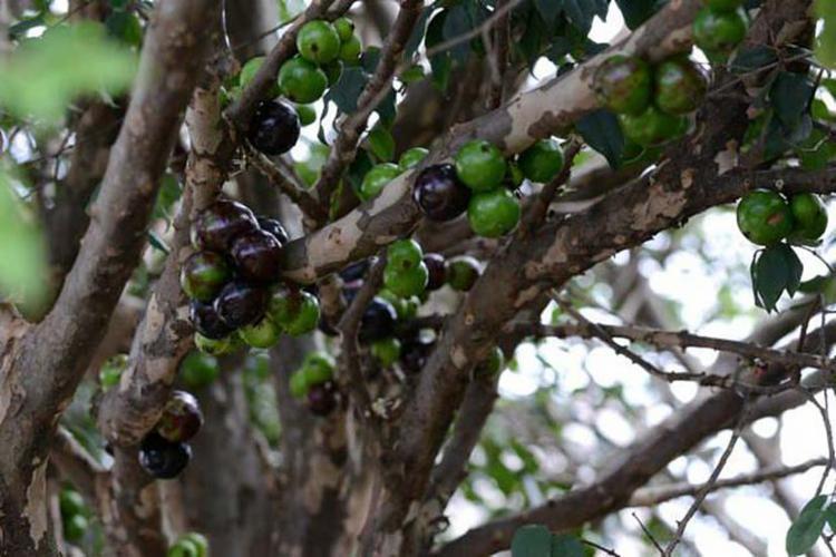 A jabuticaba é uma fruta nativa da Mata Atlântica - Foto: Divulgação | Embrapa