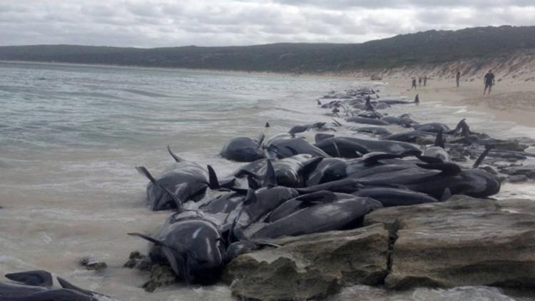 O Departamento de Conservação da Nova Zelândia atribuiu as mortes erros de navegação do animais, doenças e alterações da maré