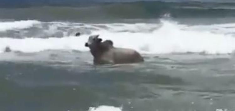 O boi fugiu durante a Feira Nacional de Agropecuária (Fenagro), no Parque de Exposições. O animal chegou a parar no aeroporto de Salvador e depois foi encontrado na praia de Stella Maris