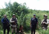 Cerca de 100 pés de maconha são encontrados em Paratinga | Foto: Divulgação