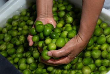 Processo de agroindustrialização do umbu alavanca Agricultura Familiar
