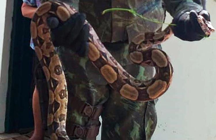 O animal, de cerca de 1,20 metros, estava bem de saúde ele foi resgatado e libertado em uma zona de mata não habitada - Foto: Divulgação | Coppa