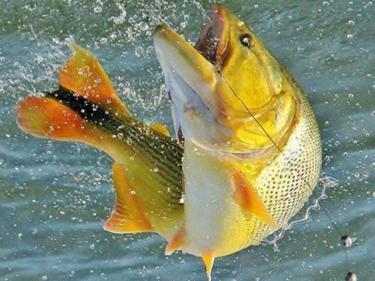 Pela carne saborosa e pela bravura e resistência quando fisgado, tornou-se muito cobiçado pelos pescadores - Foto: Divulgação