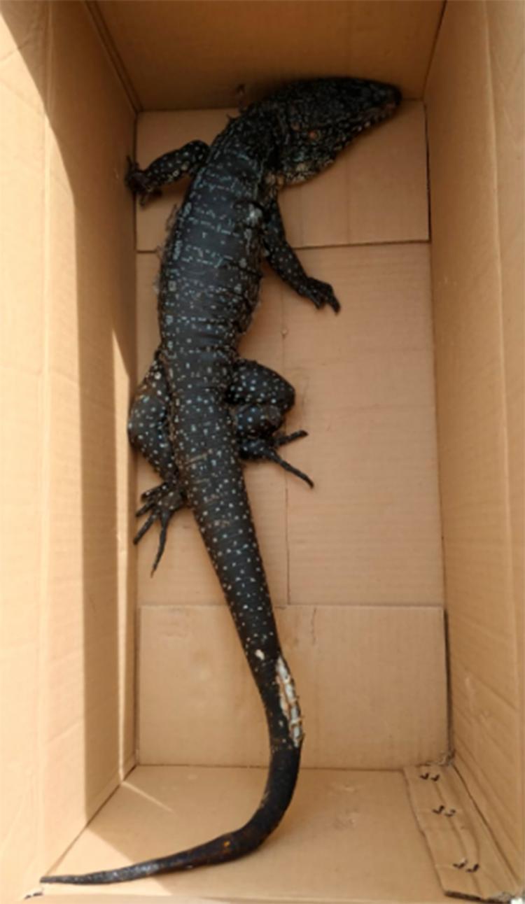 Teiú foi conduzido ao zoológico de Salvador e deixado aos cuidados de um veterinário - Foto: Divulgação | CBMBA