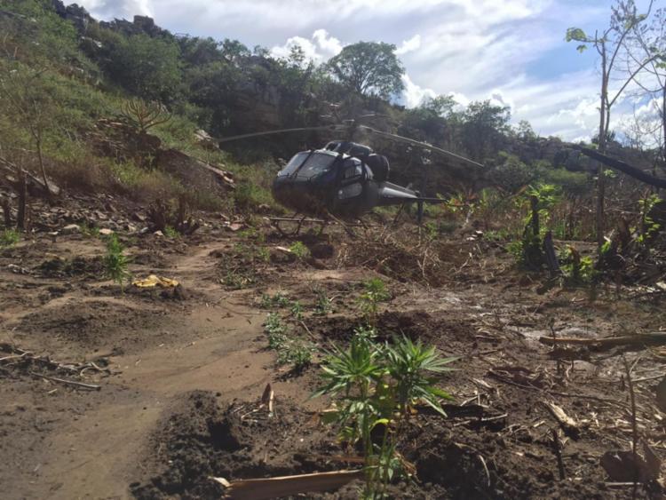 A quantidade da droga erradicada poderia produzir aproximadamente sete toneladas de maconha - Foto: Divulgação   Polícia Federal