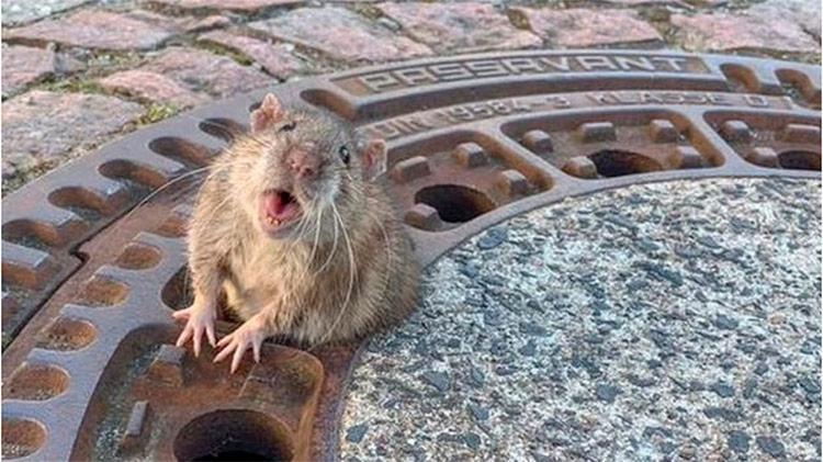Apesar de pequena, a rata era muito gorda para passar pelo buraco do bueiro - Foto: Divulgação
