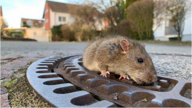 Bombeiros ajudaram o especialista em salvamento de animais a resgatar a rata