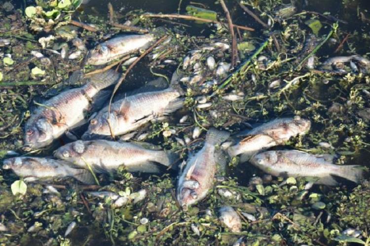 A causa da morte dos peixes ainda será investigada - Foto: Divulgação | Semmam