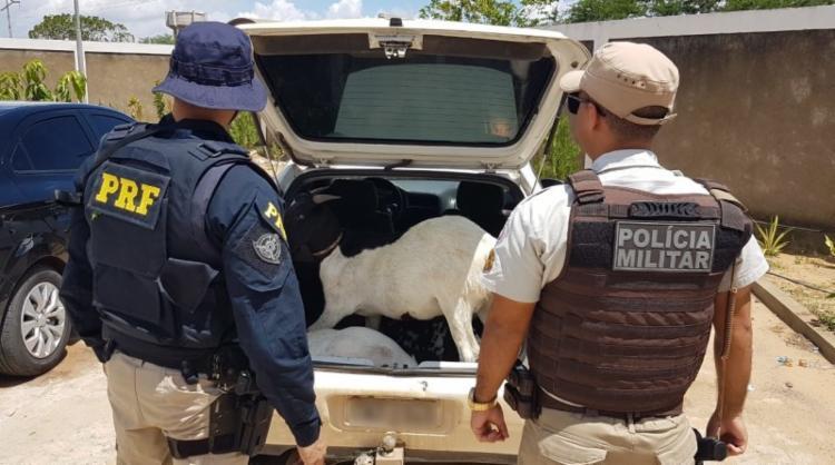 Os agentes encontraram dois caprinos vivos e um morto, no porta-malas do veículo. - Foto: Divulgação   PRF-BA