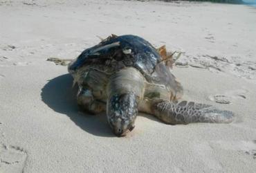 Tartaruga é encontra morta em Ilhéus; já são 60 casos na região | Divulgação | Projeto (A)mar