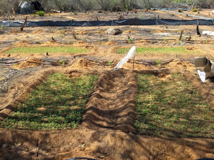 O cultivo da erva era feito por gotejamento, com apoio de um motor a gasolina - Foto: Divulgação | SSP-BA