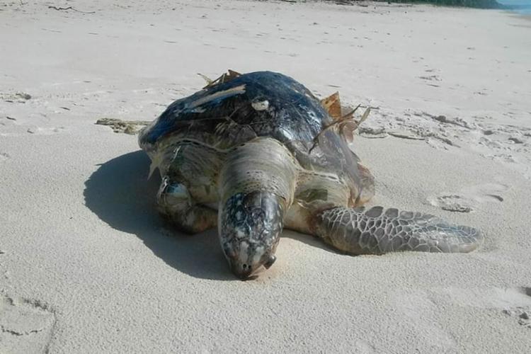 Tartaruga foi morta por afogamento causado por ingestão de plástico - Foto: Divulgação | Projeto (A)mar