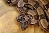 Cobra é localizada no centro de Lauro de Freitas | Foto: