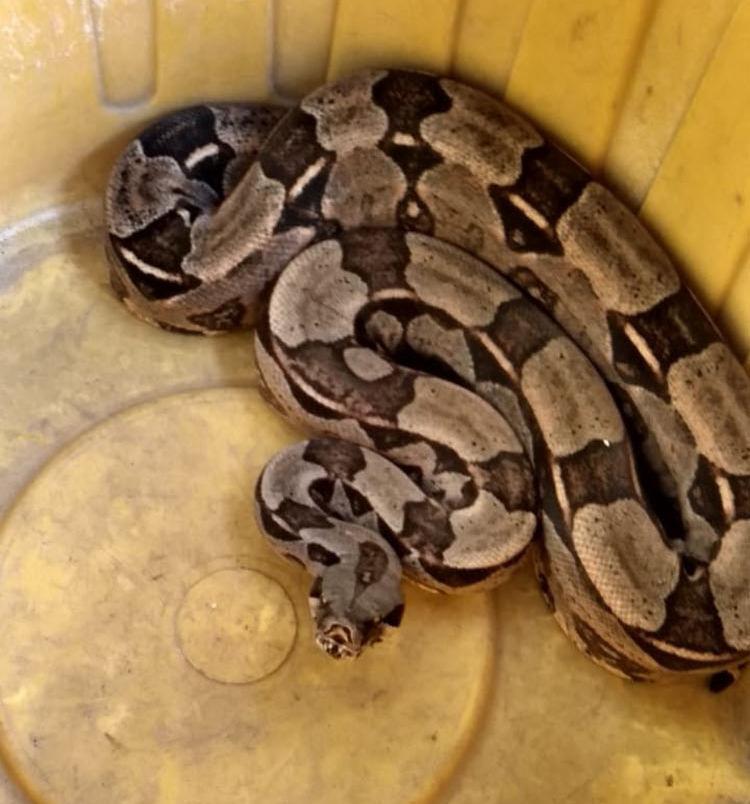 A serpente irá passar por triagem para verificar o estado de saúde - Foto: Divulgação | Polícia Militar