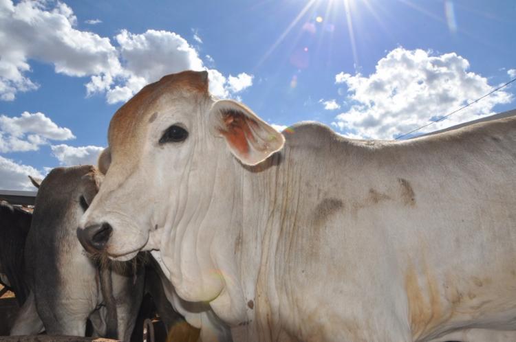 A sexta edição do seu leilão de gado de corte organizado pela ACRIOESTE acontece no próximo dia 31, a partir das 14h30, no espaço da Bahia Farm Show - Foto: Divulgação