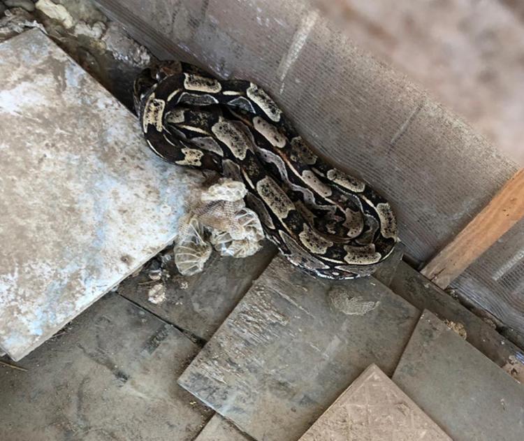 cinco serpentes da espécie jibóia eram mantidas no cativeiro - Foto: Divulgação   SSP-BA