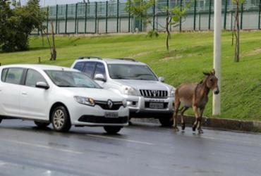 Burro atravessa av. Paralela e quase gera acidente; animal é guiado por carros | Joá Souza | Ag. A TARDE
