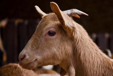 PL oferece leite de cabra nas escolas   Divulgação